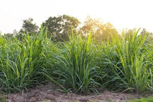 Green grass at golden hour photo