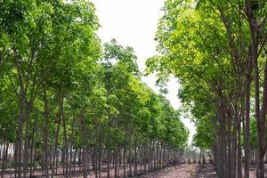 Rubber tree row agricultural. Hevea brasiliensis green leaves background