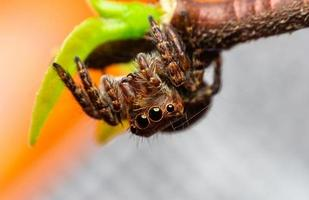 Jumping spider sticks on the leaves