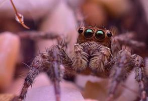 Close up of the brown jumping spider