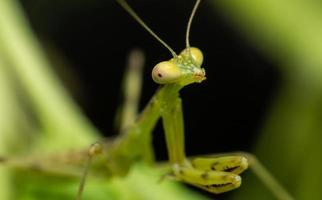 hierodula patellifera verde