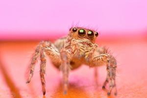 Close up the jumping spider and pink background