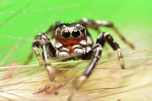 Black and brown jumping spider