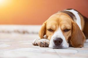 Beagle puppy lying down photo