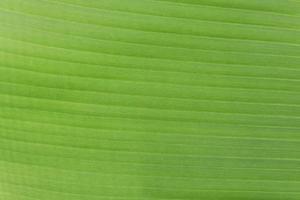 textura de hoja de plátano
