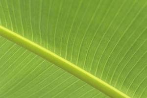 hoja de plátano verde