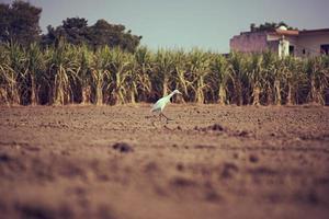 Grulla blanca en busca de gusanos en el campo