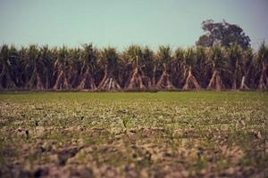 Plántulas de caña de azúcar en una granja
