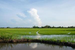 Rice field in summer photo