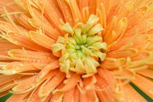 Water drops on orange gerbera