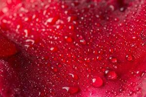 gotas de agua sobre una rosa roja