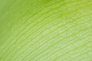 Background of a green lotus petal