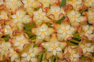 fondo de flor de naranja amarillo hoya