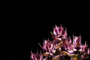 Basil flower on black background