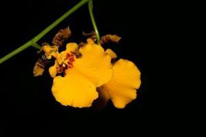 orquídea amarilla sobre fondo negro