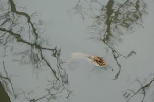 Mudskipper in the water photo
