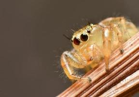 Yellow jumping spider