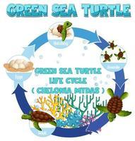 diagrama que muestra el ciclo de vida de la tortuga vector