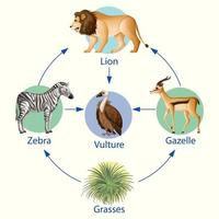 Education poster of biology for food chains diagram vector