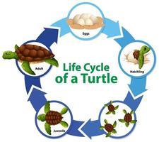 diagrama que muestra el ciclo de vida de la tortuga