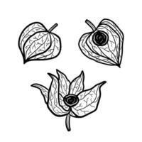 Physalis set of elements. Plant monochrome design. Line art. vector