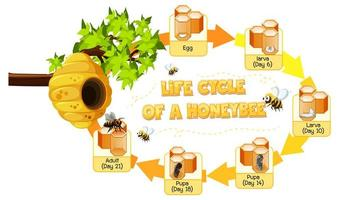 Diagrama que muestra el ciclo de vida de la abeja melífera.
