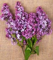 Top view of lilac flowers isolated on sackcloth texture background photo