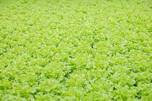 cultivo hidropónico de lechuga en invernadero. foto