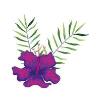 hibiscus beautiful purple color with branches and leaves, tropical nature, spring summer botanical vector
