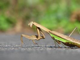 Mantis religiosa marrón y gris sobre una superficie de hormigón foto
