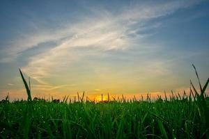 Rice field at sunrise