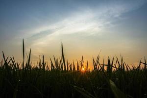 Rice field at sunrise photo