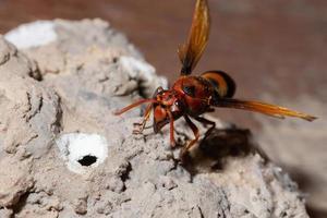 Ceriana wasp close-up