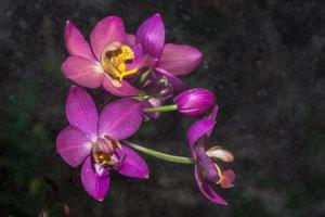 Pink orchid with dew drops
