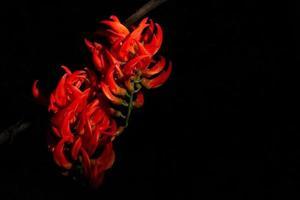 Newguinea Creeper flower close-up