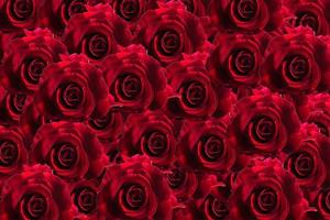 Red rose floral background photo