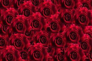 fondo floral rosa roja