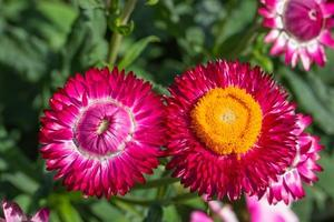 Straw flower close-up