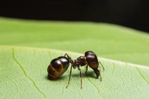 Pheidole jeton driversus ant on a leaf photo