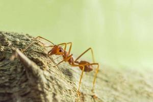 Red ant on a tree photo