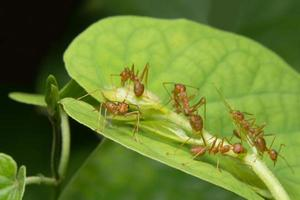 Red ants on a leaf photo