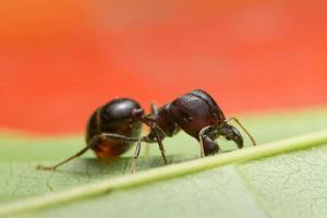 Pheidole jeton driversus ant on a leaf