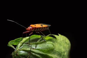 Insecto asesino rojo en una planta