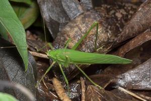 Green grasshopper on brown leaves photo
