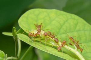 Ants on a leaf photo