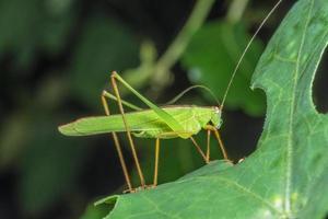 Locust on a leaf photo
