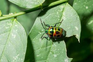 Emerald green insect