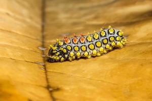 Caterpillar on a dry leaf photo