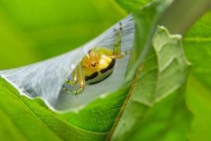 Spider in the Spider Nest
