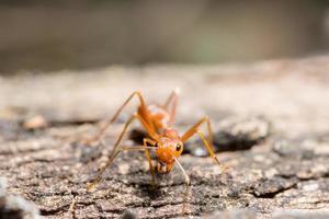 hormiga roja en el árbol foto